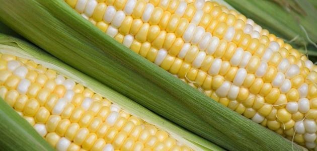 الفرق بين الذرة البيضاء والذرة الصفراء شعلة Com